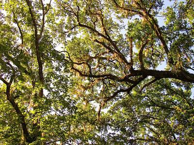 Photograph - Live Oak Canopy by Joshua Bales
