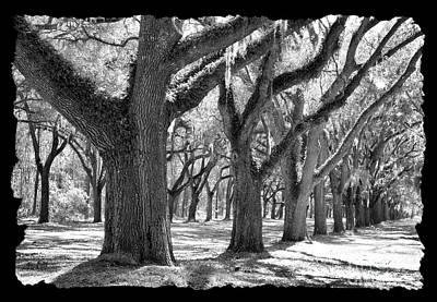 Live Oak Giants - Black And White Framing Art Print by Carol Groenen