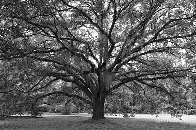 Trees Photograph - Live Oak In Black And White by Carol Groenen
