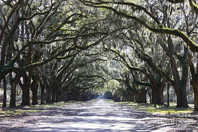 Live Oak Lane In Savannah Print by Carol Groenen