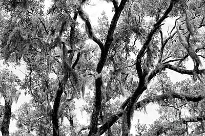 Photograph - Live Oak Lines by John Rizzuto