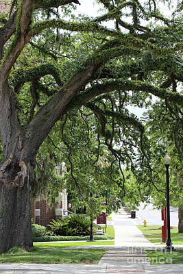 Photograph - Live Oak On Campus by Carol Groenen