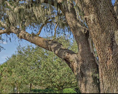 Photograph - Live Oak Tree by Dennis Dugan