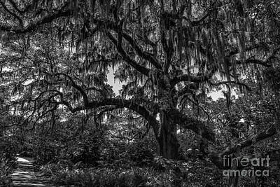 Photograph - Live Oak Tree Dripping With Spanish Moss At Brookgreen Gardens by Dale Powell