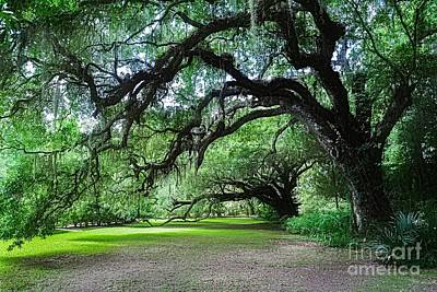 Photograph - Live Oaks by Debbie Green