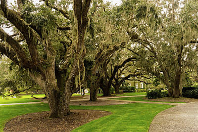 Photograph - Live Oaks On Sothern Plantation by Douglas Barnett