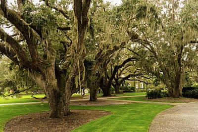 Photograph - Live Oaks On Sothern Plantation by Douglas Barnett