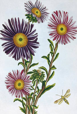 Wildflowers Drawing - Livingstone Daisy Dorothanthus by Pierre-Joseph Buchoz