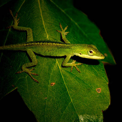 Photograph - Lizard 5 by David Weeks