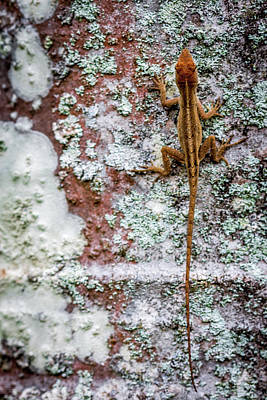 Photograph - Lizard And Lichen On Brick by Susie Weaver