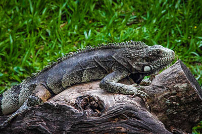 Photograph - Lizard At The Zoo by Fabio Giannini
