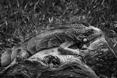 Photograph - Lizard-bw by Fabio Giannini