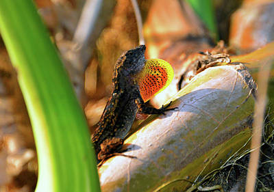 Photograph - Lizard Display by David Lee Thompson