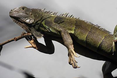 Photograph - Lizard by Erik Tanghe