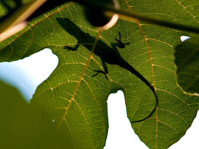Photograph - Lizard On A Fig Leaf by Charles Hite