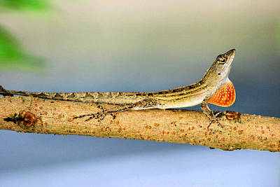 Mating Dance Photograph - Lizard Looking For Love by Kristin Elmquist