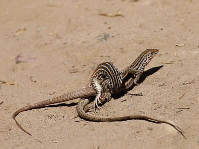 Photograph - Lizard Love by Richard Stephen