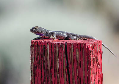 Photograph - Lizard On A Red Post by Rick Mosher