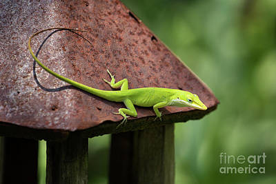 Photograph - Lizard On Lantern by Stephanie Hayes