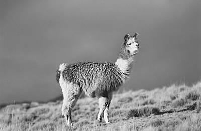 Llama Photograph - Llama by Amarildo Correa