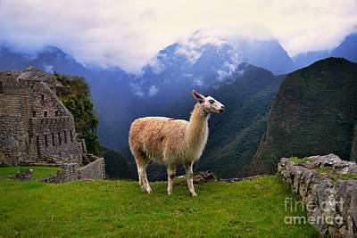 Photograph - Llama At Machu Picchu by Catherine Sherman