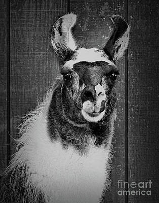 Photograph - Llama Face In Black And White by Smilin Eyes  Treasures