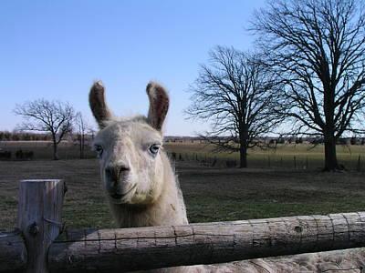 Photograph - Llama Love by Christine Montague