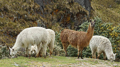 Photograph - Llamas And Alpacas by Cameron Wood