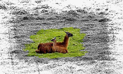 Llama Photograph - Llamas At Ingapirca by Al Bourassa