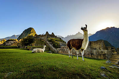 Photograph - Llamas At The Ruins by Oscar Gutierrez