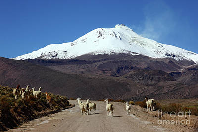 Llamas Crossing Road And Guallatiri Volcano Chile Art Print by James Brunker