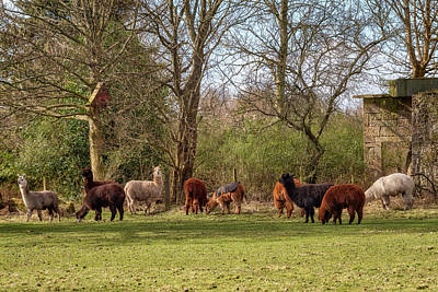 Photograph - Alpacas In Scotland by Jeremy Lavender Photography