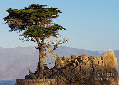 Photograph - Lone Cypress Tree  by Brandon Bonafede