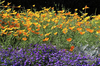 Photograph - Lobelia And Californian Poppies by Julia Gavin
