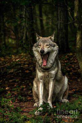 Lobo Yawns Original by William Fields