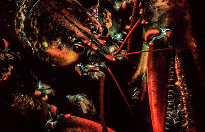 Photograph - Lobster At Six Fathoms by Gary Shepard