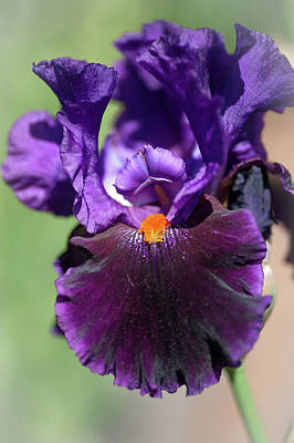 Photograph - Local Color. The Beauty Of Irises by Jenny Rainbow