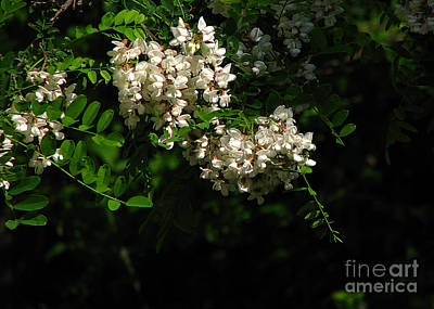 Locust Blossoms Art Print by Deborah Johnson