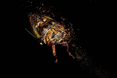 Photograph - Locust by Judy Hall-Folde