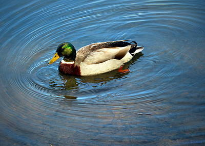 Photograph - Lodi Lake Mallard by Joyce Dickens