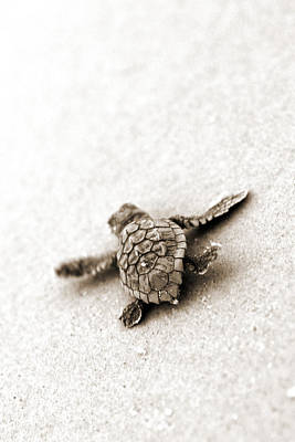 Turtle Photograph - Loggerhead by Michael Stothard