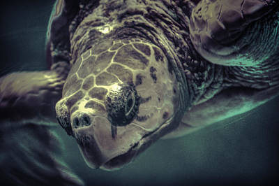 Photograph - Loggerhead by Pete Federico