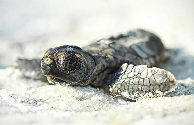 Hatchlings Photograph - Loggerhead Sea Turtle Hatchling by Kristian Bell