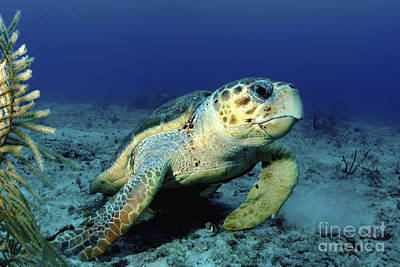 Reptiles Royalty-Free and Rights-Managed Images - Loggerhead Sea Turtle, Nassau, The by Amanda Nicholls