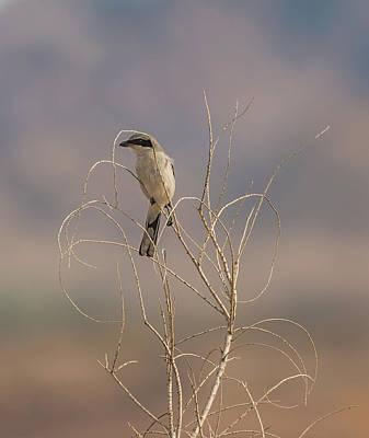 Photograph - Loggerhead Shrike In The Desert by Loree Johnson