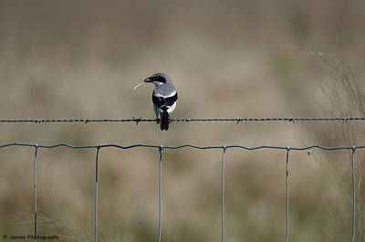 Photograph - Loggerhead Shrike by James Petersen