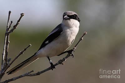 Photograph - Loggerhead Shrike by Meg Rousher