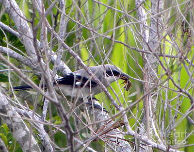 Photograph - Loggerhead Shrike With Dinner by Terri Mills