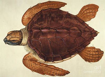 Photograph - Loggerhead Turtle, 1585 by Granger