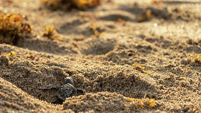 Photograph - Loggerhead Turtle Hatchling 1 by Lawrence S Richardson Jr